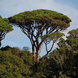 Как высадить хвойные деревья
